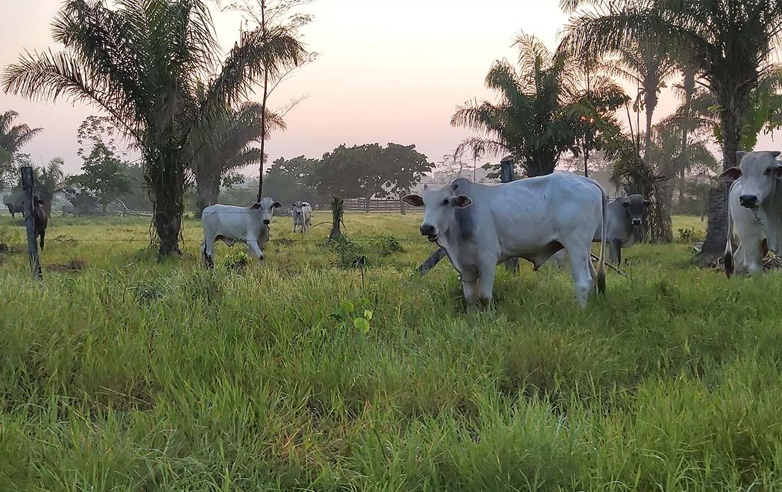 Propiedad ganadera establecida en los alrededores de comunidades tsimanes.